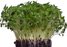Cress Shiso Purple X12